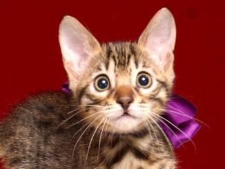 ベンガルの子猫4/13生 700番パープル メス5