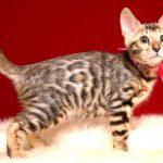 ベンガルの子猫 2019/4/3生 676番ピンク メス11