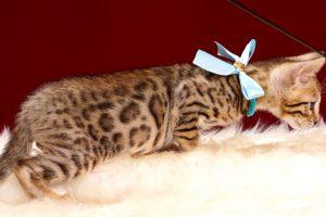 ベンガルの子猫2018年3月26日生 499番みずいろ君