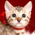 ベンガルの子猫 2019/4/21生 713番レッド メス1