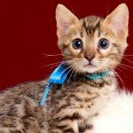 ベンガルの子猫2018年4月5日生 503番あお