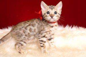 ベンガルの子猫 2019/4/21生 713番レッド メス2