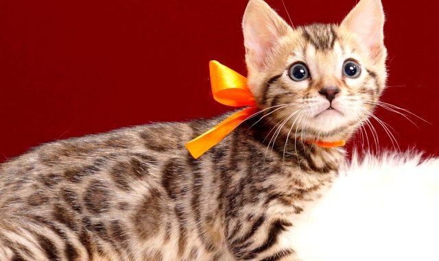 ベンガルの子猫2018年4月5日生 502番おれんじ君