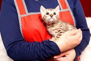 ベンガルの子猫 2019/4/21生 713番レッド メス5
