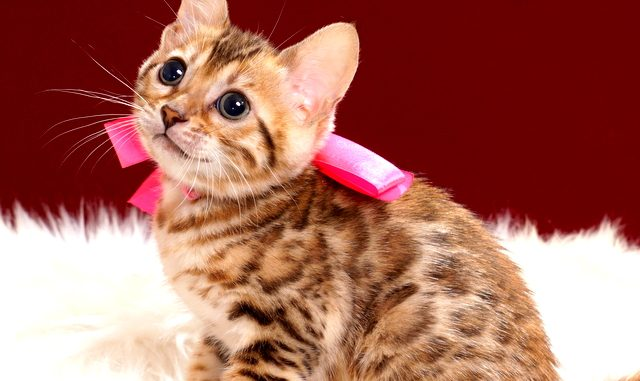 ベンガルの子猫2018年4月5日生 501番ぴんくちゃん