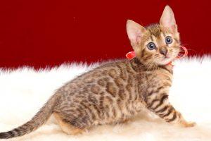 ベンガルの子猫2018年4月24日生 508番レッド