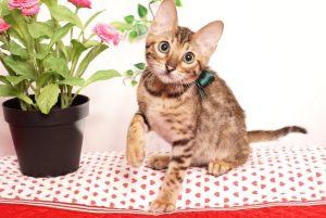 ベンガルの子猫 2019/4/1生 675番グリーン オス11