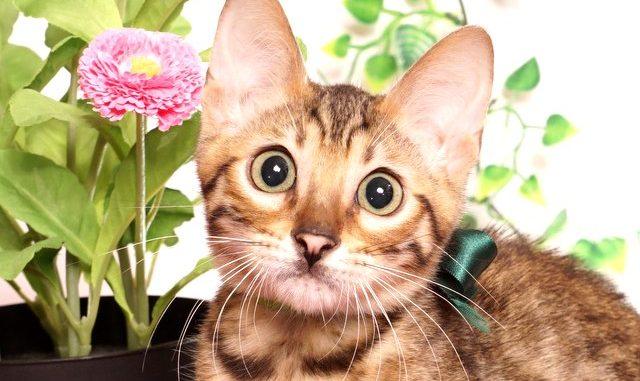ベンガルの子猫 2019/4/1生 675番グリーン オス12