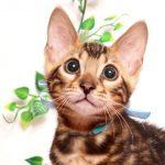 ベンガルの子猫 2019/4/6生 677番アクア オス14