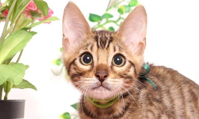 ベンガルの子猫 2019/4/13生 679番グリーン オス12