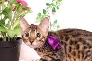 ベンガルの子猫4/13生 700番パープル メス12ベンガルの子猫4/13生 700番パープル メス12