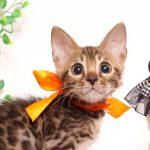 ベンガルの子猫4/15生 706番オレンジ メス3