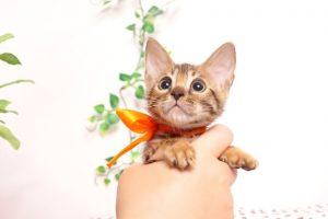 ベンガルの子猫4/15生 706番オレンジ メス2