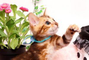 ベンガルの子猫 2019/4/21生 714番アクア オス12