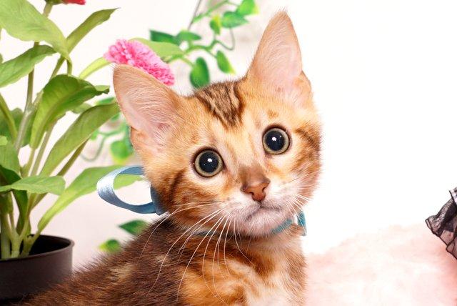 ベンガルの子猫 2019/4/21生 714番アクア オス13