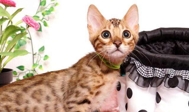 ベンガルの子猫 2019/4/21生 715番グリーン オス14