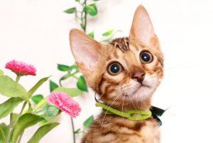 ベンガルの子猫 2019/4/21生 715番グリーン オス11