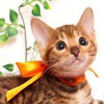 ベンガルの子猫 2019/4/27生 719番オレンジ メス2