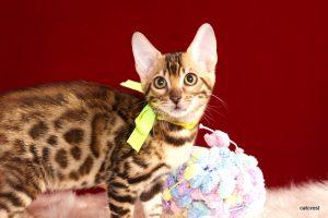 ベンガルの子猫 2016年8月18日生まれ 256番イエローちゃん