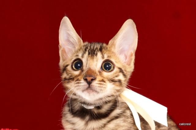 ベンガルの子猫 2016年8月28日生まれ 257番シロちゃん