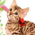 ベンガルの子猫 2019/5/13生 725番レッド メス5