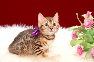 ベンガルの子猫2018年4月24日生 504番パープル