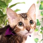 ベンガルの子猫 2019/4/21生 712番パープル メス11