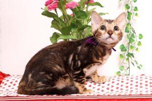 ベンガルの子猫 2019/4/21生 712番パープル メス12