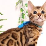 ベンガルの子猫 2019/5/13生 727番ブルー オス12