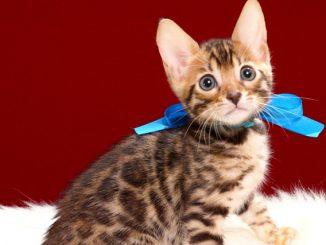 ベンガルの子猫2018年4月29日生 498番ブルー