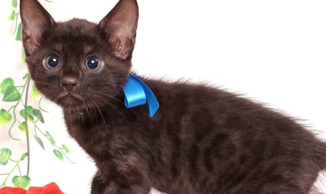 ベンガルの子猫 2019/6/6生 733番ブルー オス7