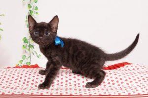 ベンガルの子猫 2019/6/9生 733番ブルー オス1