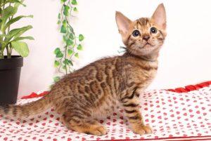 ベンガルの子猫 2019/6/9生 736番アクア オス1