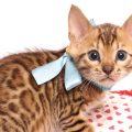 ベンガルの子猫 2019/6/6生 736番アクア オス3