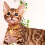 ベンガルの子猫 2019/6/9生 735番オレンジ オス1