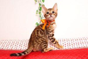 ベンガルの子猫 2019/6/9生 735番オレンジ オス2