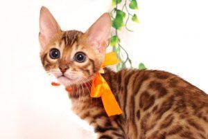 ベンガルの子猫 2019/6/9生 735番オレンジ オス3