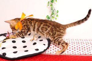 ベンガルの子猫 2019/6/9生 735番オレンジ オス4