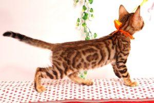 ベンガルの子猫 2019/6/9生 735番オレンジ オス5