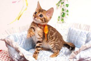 ベンガルの子猫 2019/6/9生 735番オレンジ オス6