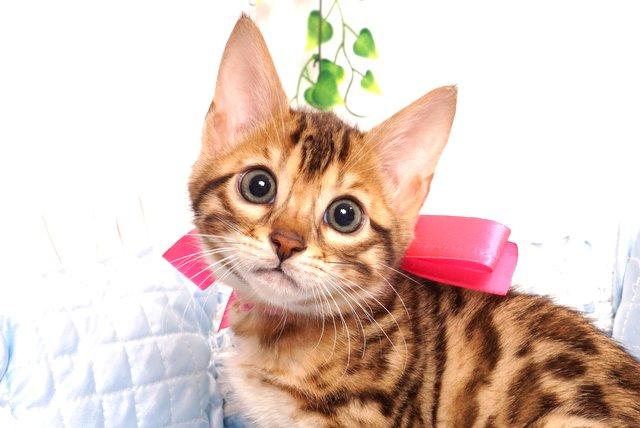 ベンガルの子猫 2019/6/9生 734番ピンク メス2