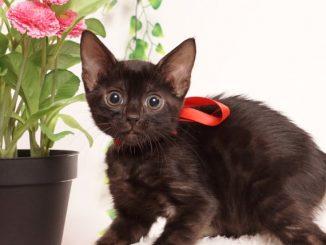 ベンガルの子猫 2019/6/9生 731番レッド メス2