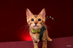 ベンガルの子猫2016年1月29日生まれ223番みどり君
