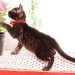 ベンガルの子猫 2019/6/9生 731番レッド メス5