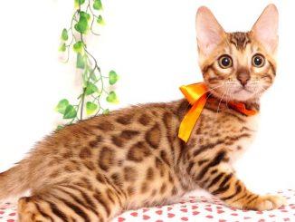 ベンガルの子猫 2019/5/26生 730番オレンジ オス3