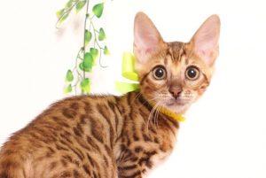 ベンガルの子猫 2019/5/26生 728番イエロー メス2