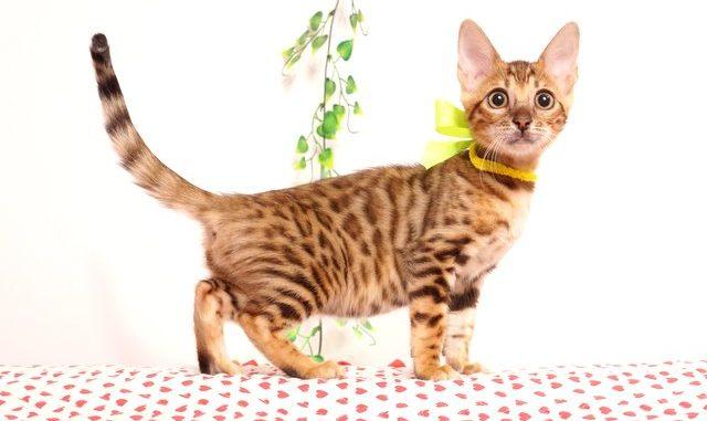 ベンガルの子猫 2019/5/26生 728番イエロー メス3