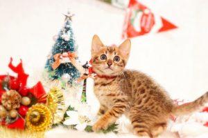 ベンガルの子猫 2016年10月10日生まれ 269番レッド君