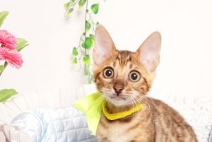 ベンガルの子猫 2019/5/26生 728番イエロー メス4