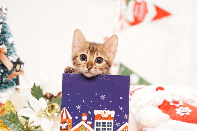 ベンガルの子猫2016年10月10日生まれ 271番ピンクちゃん